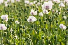 Seedheads von weißem und von Purpur färbte Mohnblumen auf einem Gebiet Lizenzfreies Stockbild