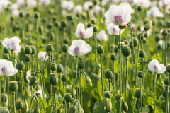 Seedheads of white and purple colored poppies in a field Royalty Free Stock Image