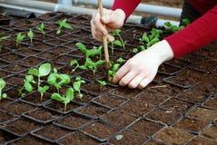 Seeding Royalty Free Stock Photos