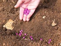 Seeding Royalty Free Stock Photo