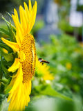 Seeding bee with blooming sunflower Royalty Free Stock Photos