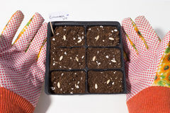 Seeding Cell Pack With Hands Royalty Free Stock Photography