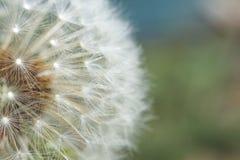 Seeding Dandelion Flower Stock Photo