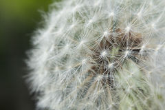 Seeding Dandelion Flower Stock Photography