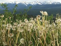 Seeding dandelions foreground Rocky Mountains background. Snow-capped Canadian Rocky Mountains with seeding dandelions foreground Royalty Free Stock Photos