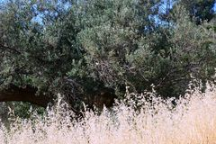 Seeding Dried Wild Grass and an Old Olive Tree, Greece. Seeding dry wild grass growing around an old olive tree in a rural Greek area. A natural metaphor for the Royalty Free Stock Photography