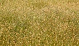 Seeding Grass. Wonderful field texture of seeding head of grass Royalty Free Stock Photos