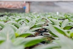 Seeding in greenhouse. seeding plants greenhouse. seeding in greenhouse concept. plant seedling in greenhouse. new life.  stock images