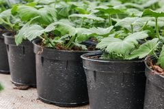 Seeding in greenhouse. seeding plants greenhouse. seeding in greenhouse concept. plant seedling in greenhouse. new life.  royalty free stock images