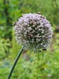 Seeding Leek Flower. Bees pollinating seeding pink leek flower in rural garden stock image