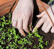 Seeding. Seeds planting in plastic bucket Stock Image