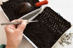 Seeding seeds plants and flowers in box with soil royalty free stock photography