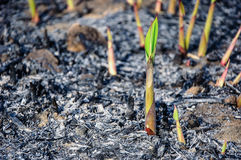Seeding of the sugar cane. While riding the motocycle in the Tak province, Thailand, we found the seeding of a sugar cane the reborn for the ash after wildfire Royalty Free Stock Photos