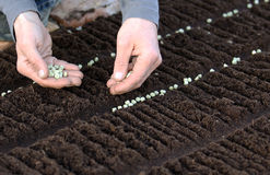 Seeding vegetable seeds on the garden bed stock photo