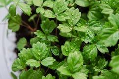 Seedings della fragola Fotografia Stock Libera da Diritti