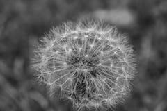 Seedless Dandelion Stock Photo