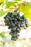 Seedless grape Stock Photography