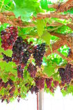 Seedless grapes. Ripen on the tree's rings Royalty Free Stock Image