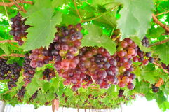 Seedless grapes. Ripen on the tree's rings Stock Images