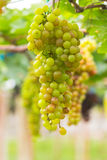 Seedless grapes ripen on the tree Stock Photos