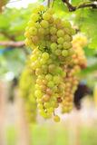 Seedless grapes ripen on the tree Stock Photo Stock Photography