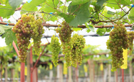 Seedless grapes ripen on the tree Stock Photo Stock Photos