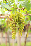 Seedless grapes ripen on the tree Stock Photo Royalty Free Stock Photo