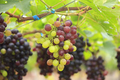 Seedless grapes ripen on the tree Stock Photo Stock Image