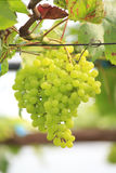 Seedless grapes ripen on the tree Stock Photo. Seedless grapes ripen on the tree Royalty Free Stock Images