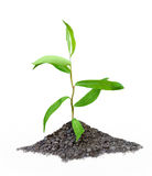 Seedling. Single seedling growing out of a handful of soil royalty free stock image