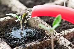 Seedling Foto de Stock Royalty Free
