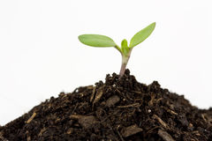 Seedling. A two leaf seedling sprouting from a mound of soil Royalty Free Stock Photos