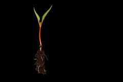 Seedling. Single seedling with roots isolated on black background Royalty Free Stock Photography