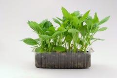 Seedling Royalty Free Stock Photo
