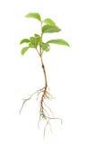 Seedling Imagem de Stock