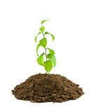 Seedling Royalty Free Stock Images