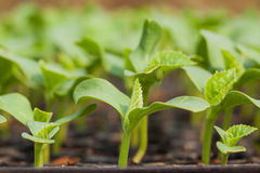 Seedling Stock Photography