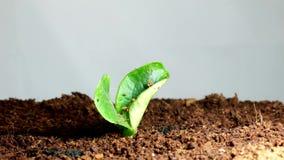 seedling filme
