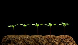 Seedling. A time-lapse series of images show the development of the first true leaves of a marigold seedling Royalty Free Stock Photo