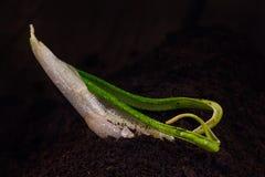 seedling Fotografia de Stock