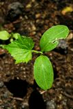 Seedling. A seedling rises from the warm earth Stock Photos