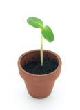 Seedling Royalty Free Stock Image