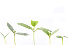 Seedling. Number of seedling with white background stock photos