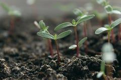 seedling Fotos de Stock Royalty Free