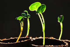 Seedling Against Black Background. Seedling growing in cells with black background Stock Photos