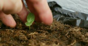 Seedling arrangement by farmer hands stock video
