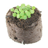 Seedling of balm mint Melissa officinalis with two green cotyledon leaves and small true leaf in clod of soil Stock Images