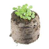 Seedling of balm mint or Melissa officinalis with two green cotyledon and true leaves in clod of soil. Seedling of balm mint Melissa officinalis with two green Stock Images