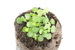 Seedling of balm mint or Melissa officinalis with two green cotyledon and true leaves in clod of soil Stock Image