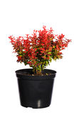 Seedling barberry in a black plastic pot. Isolated on white background Royalty Free Stock Photos